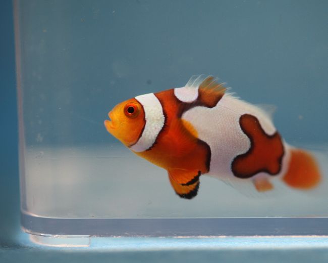 Tank Raised Clown, Picasso (Premium)