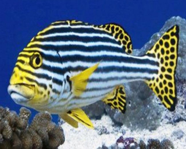 Sweetlips, Oriental