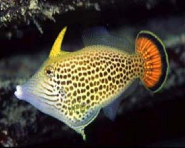 Filefish, Orangetail (Haw)