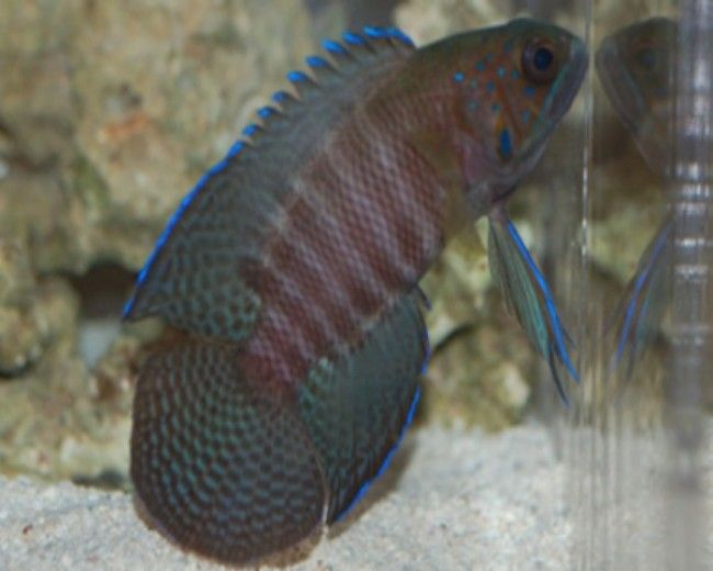 Grouper, Betta Devil Poweri (Aust)