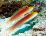 Goby, Sleeper Bella (Rare)