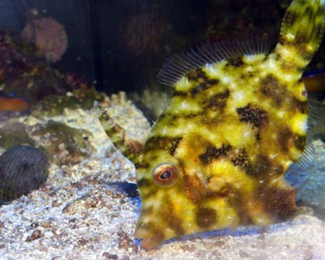FileFish, Tomentosus (Aiptasia Eating)