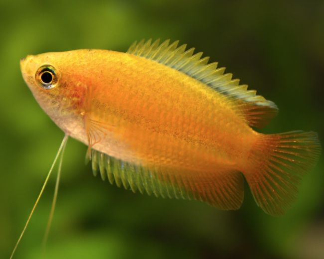 HONEY DWARF GOURAMI