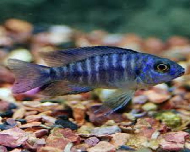 PEACOCK CICHLID - BLUE
