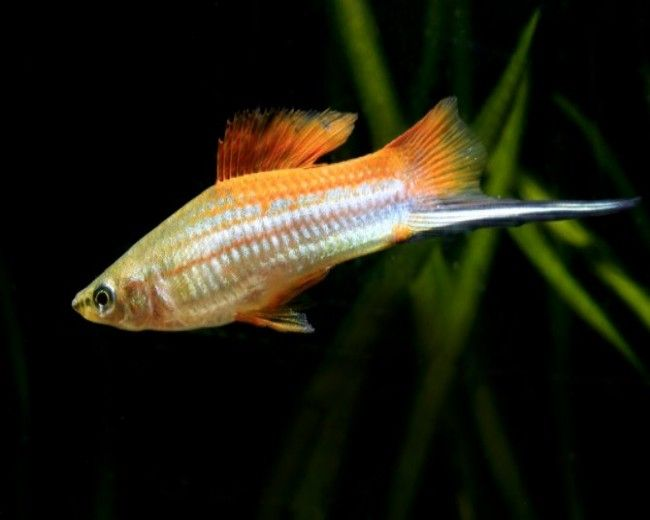 ASSORT. SWORDTAILS - MALE ONLY