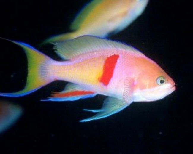 Anthias, Tricolor (Male)