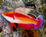 Wrasse, Fairy Tonozu (Male)