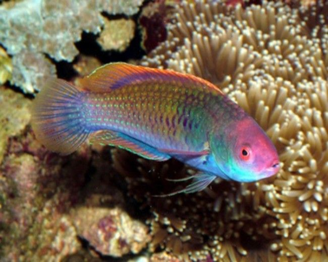 Wrasse, Picture