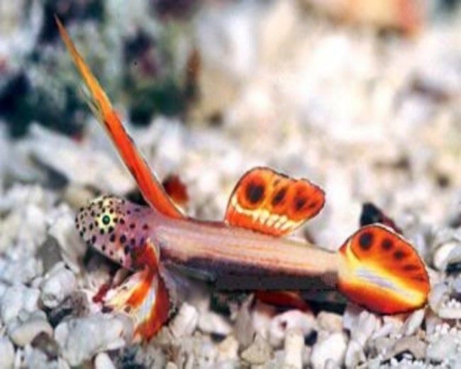 Goby, Griessingeri Spike fin (Nano)