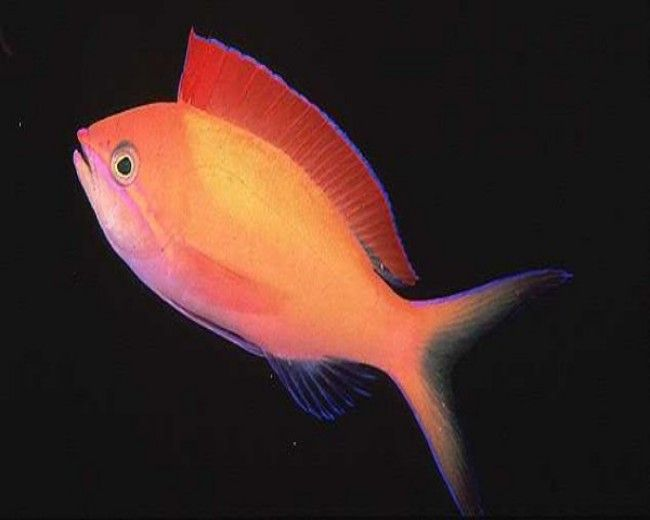 Anthias, Dispar