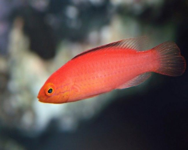Wrasse, Fairy Katoi (Female)
