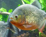 PACU - RED BELLY