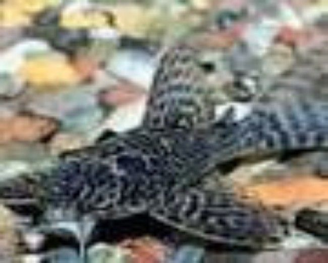 L-103 CLOWN STRIPE PLECO