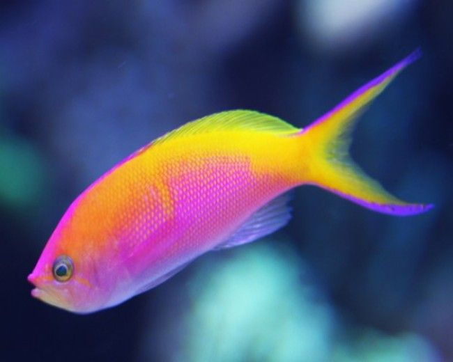 Anthias, Bartletts (Male)