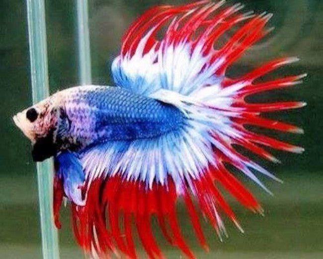 CROWNTAIL RED WHITE AND BLUE