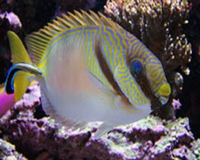 Rabbitfish, Yellowline