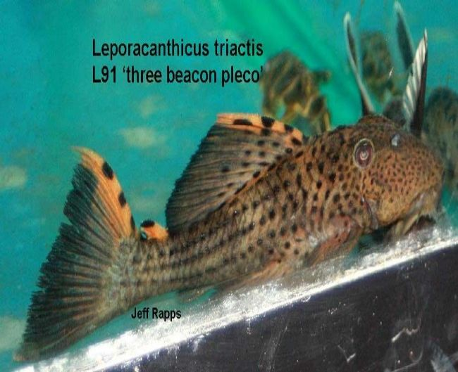 Leporacanthicus triactis L91 Three Beacon Pleco 4-4.5""