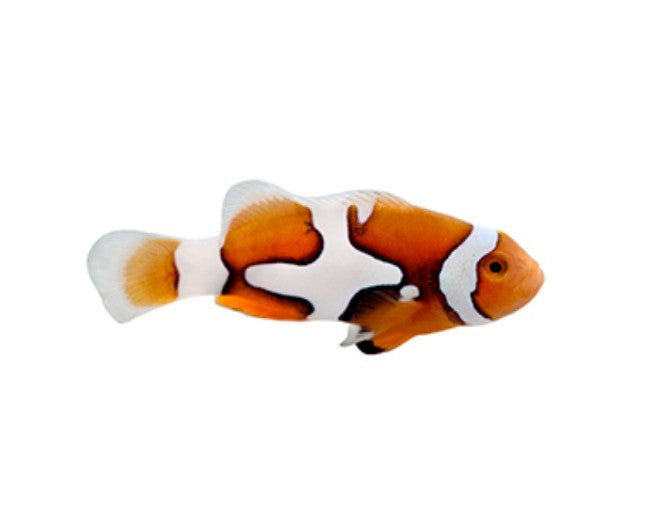 Tank Raised Clown, Percula Picasso Regular