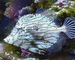 Filefish, Tassle
