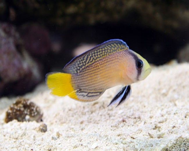 Pseudochromis, Splendid Yellowtail