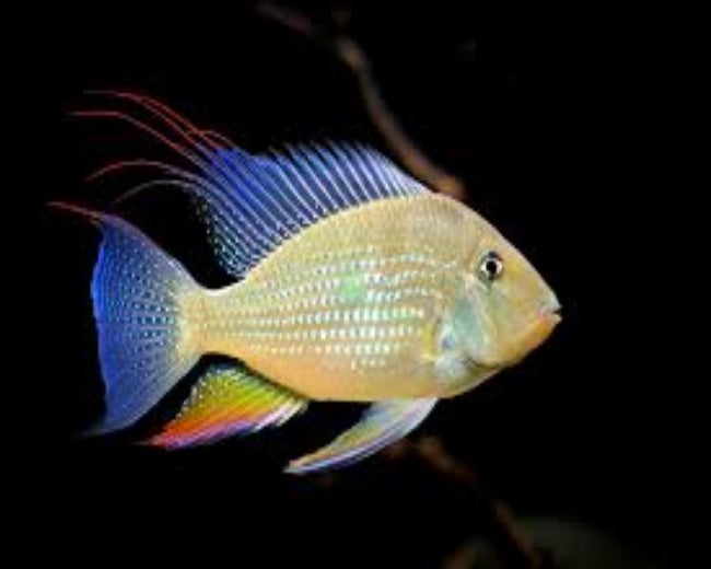 GEOPHAGUS THREADFIN HECKELII 3""