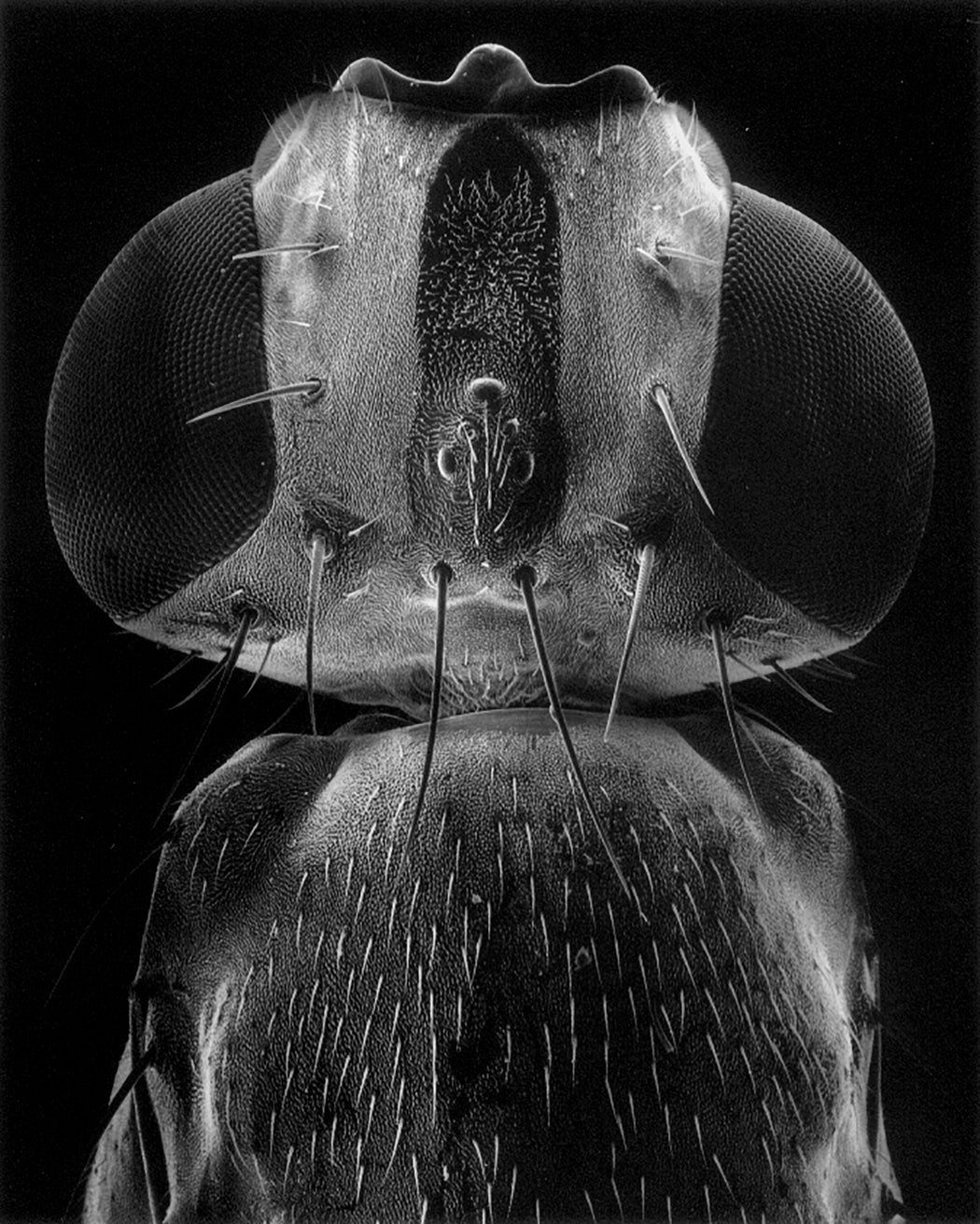 Head of a fly, 50x