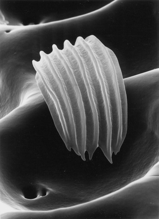 Sensitory hair of a beetle, 3000x