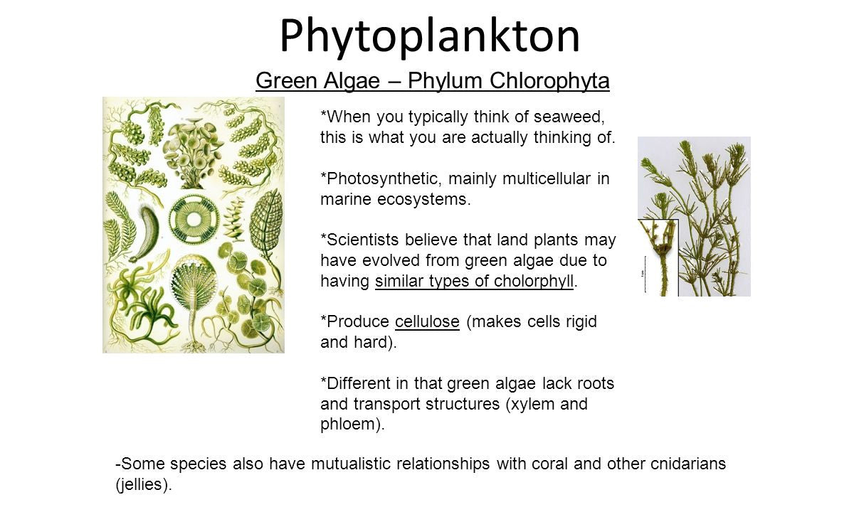 phytoplankton (green plankton) image from images.slideplayer.com