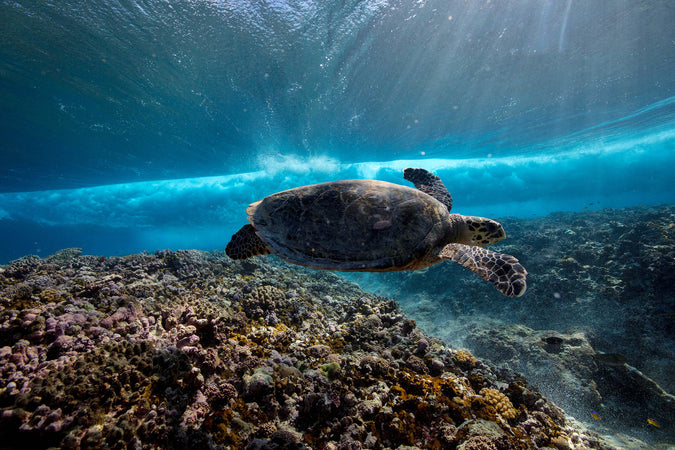 How is Ocean Plastic impacting Sea Turtles?