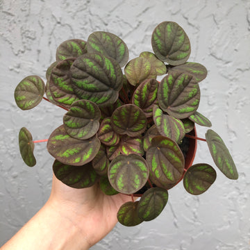 "4"" Ripple Peperomia 'Peppermill'"