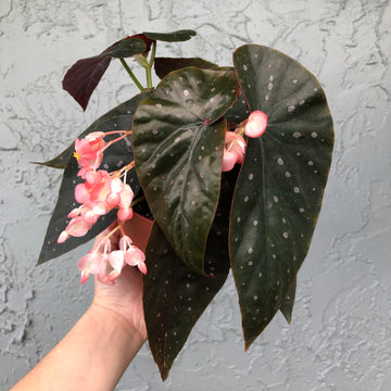 "6"" Angel Wing Begonia - Harmony's Dark Vortex"