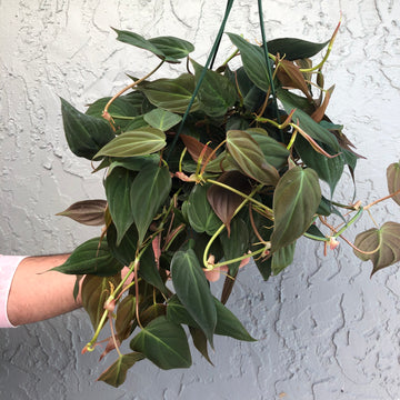 "8"" Philodendron Micans"