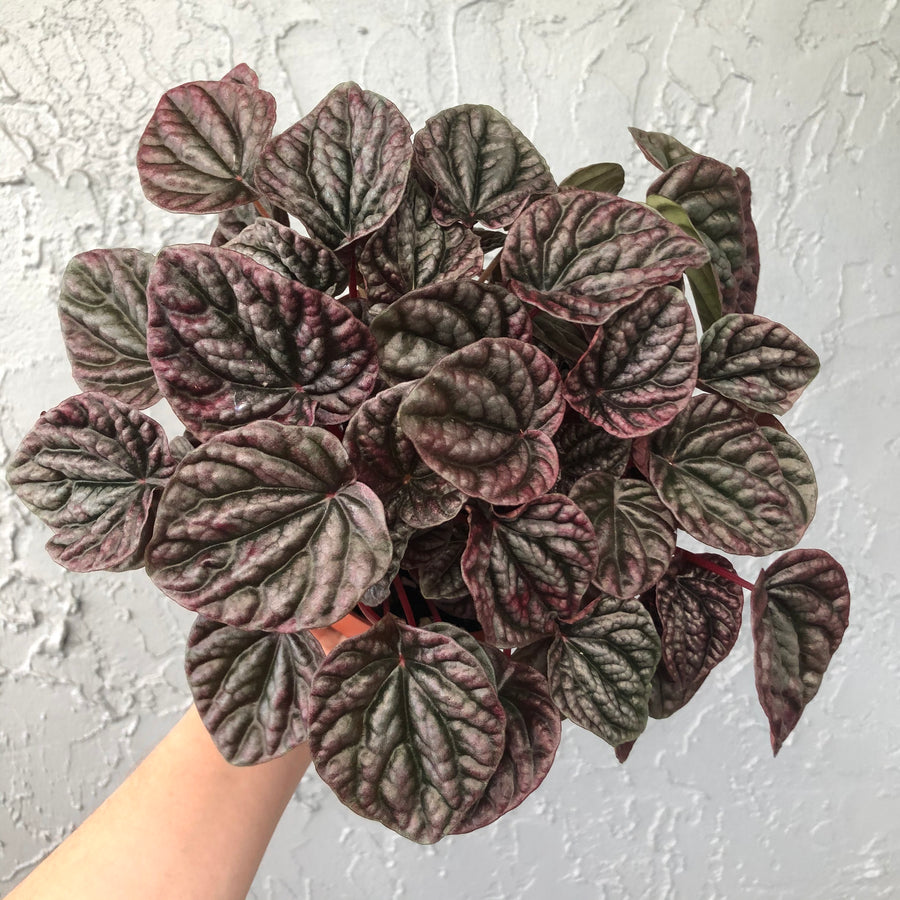 Ripple Peperomia - Red Emerald / Ruby