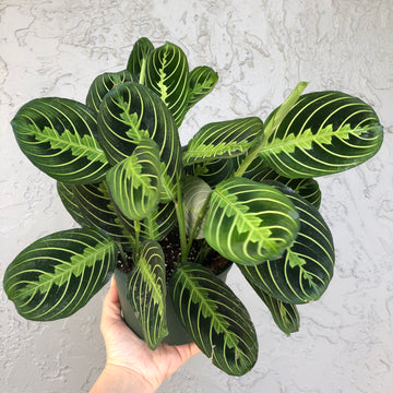 Lemon Lime Maranta