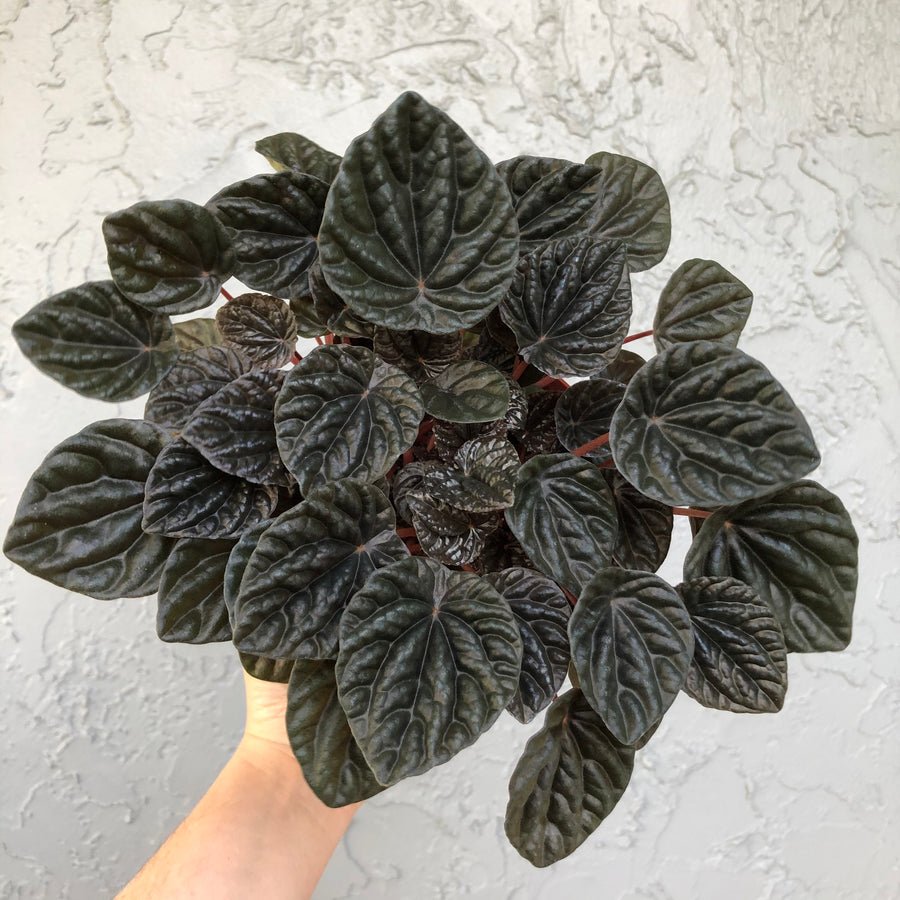 Ripple Peperomia - Black/Burgundy