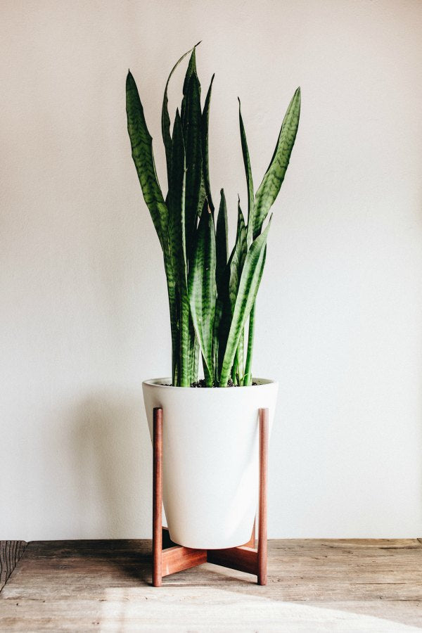 snake plant for the bathroom