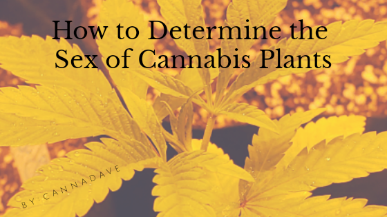 How to Determine the Sex of Cannabis Plants