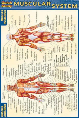 Muscular System (4x6)