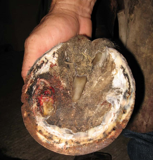 Four Common Hoof Problems For Horses
