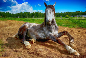 Barefoot horses are more prone to slipping/ have trouble with traction?