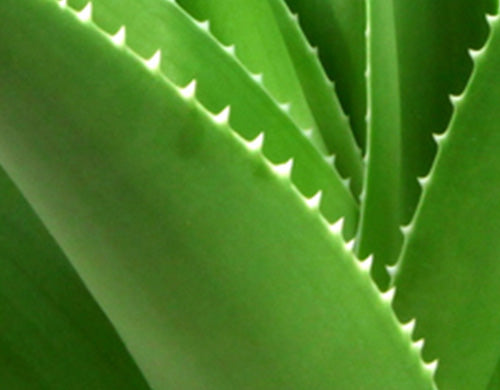 Aloe Leaf Extract