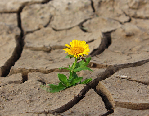 flower in dry soil