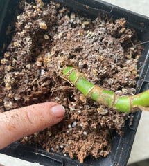 test your soil to see if you plant needs to be watered. Stick your finger in to see if it feels damp below the sueface
