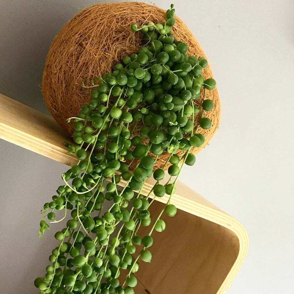 String of Pearls Kokí