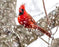 "Winter Cardinal in Tree - 16""x20"" (40cm x 50cm) - Round or Square Diamonds"