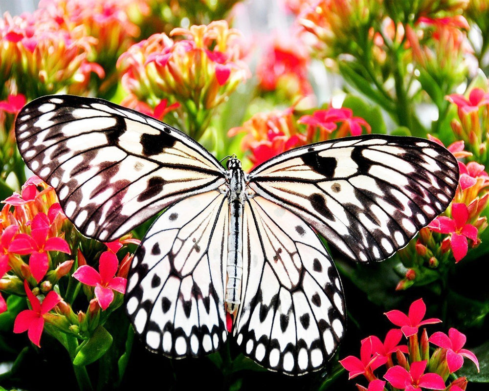 This is a photo of a black and white butterfly  on pink flowers