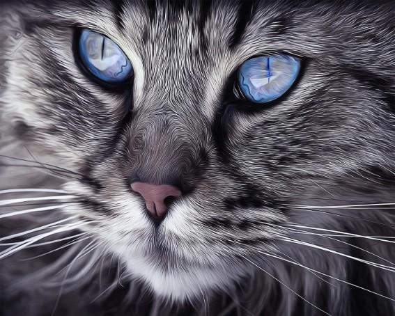 This  is a photo of a grey cat with blue eyes
