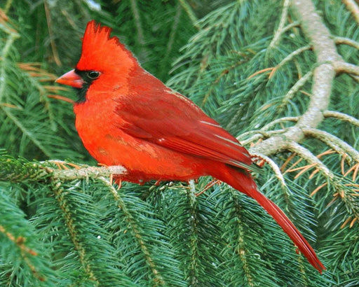 Cardinal in Pines - Shimmer Stitch