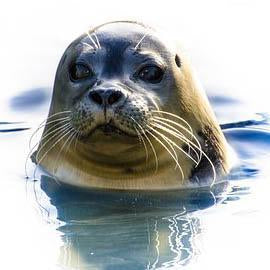 This is a  photo of a Cute Seal in the water