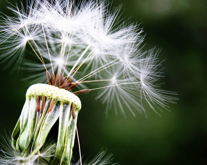 This is a photo of a a close up shot of dandelion.